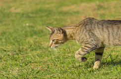 El gato rayado hermoso está en el vagabundeo por la tarde Imagen de archivo