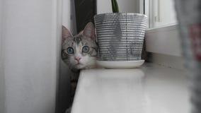 El gato rayado ligero con los ojos azules se sienta en la ventana metrajes