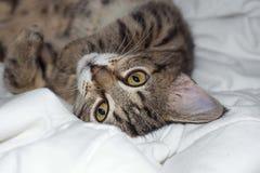 El gato rayado miente en una tela escocesa Imagen de archivo
