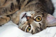 El gato rayado miente en una tela escocesa Fotos de archivo libres de regalías
