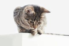 El gato rayado se sienta en la tabla y la mirada abajo Imágenes de archivo libres de regalías