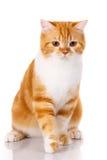 El gato recto escocés se sienta en un fondo blanco imagen de archivo