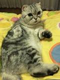 El gato relajado Fotografía de archivo