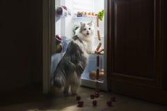 El gato roba la salchicha del refrigerador Foto de archivo