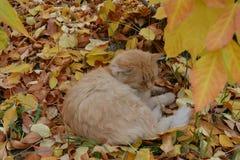 El gato rojo Fotos de archivo libres de regalías