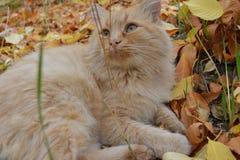 El gato rojo Fotografía de archivo libre de regalías