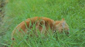 El gato rojo brillante está caminando en yarda y está comiendo una hierba, mirando la cámara, primer metrajes