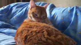 El gato rojo cuida diligente sobre su aspecto almacen de metraje de vídeo