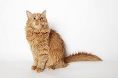 El gato rojo de la sentada y mirada para arriba Foto de archivo