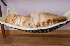 El gato rojo está durmiendo en la hamaca Fotos de archivo libres de regalías