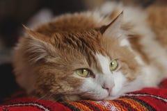 El gato rojo feliz está en la tabla Fotos de archivo