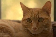 El gato rojo le está mirando Imágenes de archivo libres de regalías