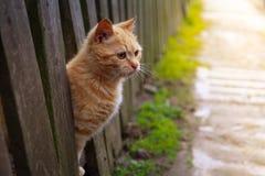 El gato rojo mira hacia fuera de detrás una cerca animal doméstico de la foto del sol del verano Hermoso con los ojos amarillos Fotografía de archivo libre de regalías
