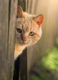 El gato rojo mira hacia fuera de detrás una cerca animal doméstico de la foto del sol del verano Hermoso con los ojos amarillos Foto de archivo