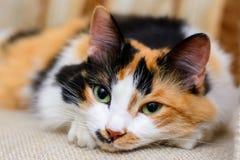 El gato rojo mullido miente en una silla Fotos de archivo