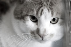 El gato rojo triste cría bobtail en una jaula Fotografía de archivo