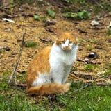 Gato rojo y blanco hermoso que se sienta en la tierra Fotos de archivo