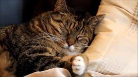 El gato se acurrucó en una almohada