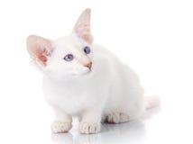 El gato siamés del Balinese se sienta en un fondo blanco foto de archivo