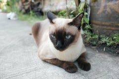 El gato siamés hermoso Imagenes de archivo