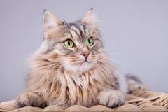 El gato siberiano está mirando fuera de una cesta a la derecha fotografía de archivo
