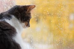 El gato sienta y mira hacia fuera la ventana las gotas de agua Fotos de archivo