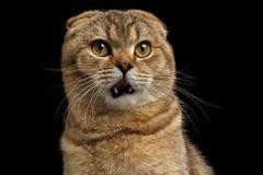 El gato sorprendido primer del doblez del escocés mira questioningly en negro fotos de archivo libres de regalías