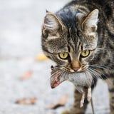 El gato sostiene el ratón cogido Imagen de archivo