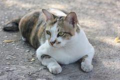 El gato tailandés es una raza de gato Pelo corto en las zonas tropicales Imágenes de archivo libres de regalías