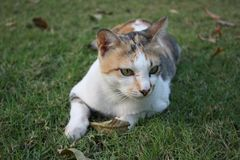 El gato tailandés es una raza de gato Pelo corto en las zonas tropicales Fotos de archivo libres de regalías