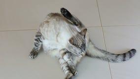El gato tailandés hermoso lame su cuerpo almacen de video