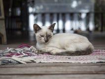 El gato tailandés se relaja en la alfombra Imágenes de archivo libres de regalías
