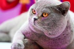 El gato tailand?s de Korat con los ojos amarillos de la piel gris Es el ganador de la competencia hermosa del gato del torneo fotos de archivo