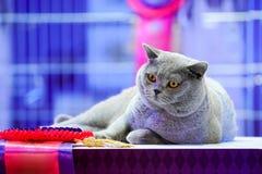 El gato tailand?s de Korat con los ojos amarillos de la piel gris Es el ganador de la competencia hermosa del gato del torneo fotos de archivo libres de regalías