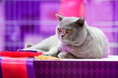El gato tailand?s de Korat con los ojos amarillos de la piel gris Es el ganador de la competencia hermosa del gato del torneo imagenes de archivo