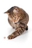 El gato toca un pistacho la pata Fotos de archivo