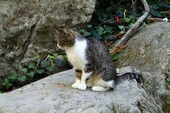 El gato tres-coloreado hermoso se sienta en una piedra Fotos de archivo