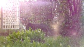 El gato va a lo largo de la cerca Rayos de Sun metrajes