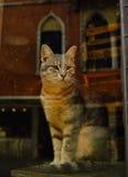 El gato venezian - veneziana di gatto Foto de archivo