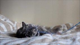 El gato viejo Lisa está jugando con un arco en una secuencia