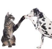 El gato y el perro dan el alto cinco Fotografía de archivo