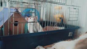 El gato y el ratón coge una rata blanca del animal doméstico en una jaula vídeo de la cámara lenta el gato está jugando con el ví almacen de video