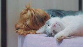El gato y un perro son vídeo divertido de la forma de vida el dormir juntos amistad del gato y del perro dentro el dormir en los  metrajes