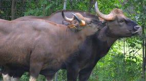 El gaur foto de archivo