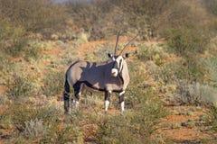 El Gemsbok del Oryx fotografió en el parque nacional internacional de Kgalagadi entre Suráfrica, Namibia, y Botswana Imagenes de archivo