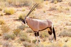 El Gemsbok del Oryx fotografió en el parque nacional internacional de Kgalagadi entre Suráfrica, Namibia, y Botswana Imágenes de archivo libres de regalías