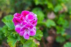 El geranio de la flor fotos de archivo