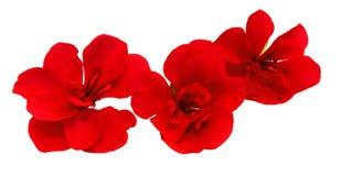 El geranio florece en la forma de las rosas frescas, manipulación de la foto Fotos de archivo