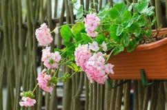 El geranio rosado del jardín florece en el pote, cierre encima del tiro/del geranio f Imagenes de archivo