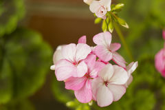 El geranio rosado florece en la rama, color de pasteles Imagenes de archivo